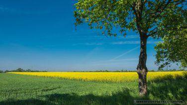 RZEPAKOWE POLE_04-05-2014_FOT_IRENEUSZ KAZMIERCZAK