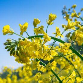 Rzepak (Brassica napus L. var. napus) – odmiana kapusty rzepak. Wystêpuje tylko w uprawie.